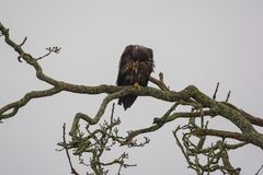 Juvenile Bald Eagle Haliaeetus leucocephalus perched on a tree. Branch and scratching it`s head Royalty Free Stock Photo