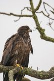 Juvenile Bald Eagle Haliaeetus leucocephalus perched on a tree. Branch royalty free stock images
