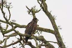 Juvenile Bald Eagle Haliaeetus leucocephalus perched on a tree. Branch royalty free stock photo