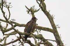Juvenile Bald Eagle Haliaeetus leucocephalus perched on a tree. Branch Royalty Free Stock Photo