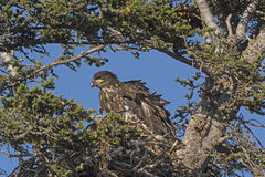 Juvenile Bald Eagle in its Nest Royalty Free Stock Photos