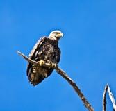 Juvenile Bald Eagle on Limb stock image
