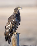 Juvenile Bald eagle on old post Stock Photography