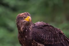 Juvenile Bald Eagle in Quebec royalty free stock photography