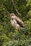 Juvenile bald eagle perched in pine tree Stock Images