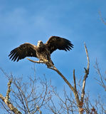 Juvenile Bald Eagle Ready to Fly stock images