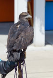 Juvenile Bald Eagle. A juvenile bald eagle sits perched on a gloved hand Royalty Free Stock Photography