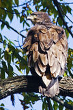 Juvenile Bald Eagle. Sitting in a tree Royalty Free Stock Images