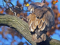 Juvenile Bald Eagle. Sitting in Tree Stock Photography