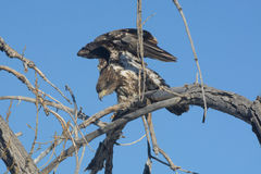 Juvenile Bald Eagle Stock Photo