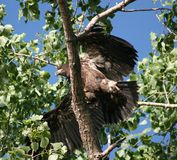 Juvenile Bald Eagle. Stretching his wings Stock Photography