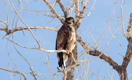 Juvenile Bald Eagle in Colorado royalty free stock photography