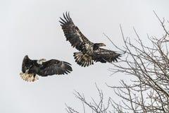 Juvenile Bald Eagle Stock Photos