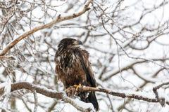 Juvenile Bald Eagle Stock Images