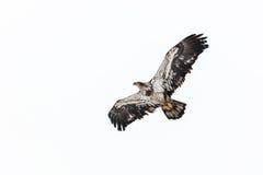 Juvenile Bald Eagle Royalty Free Stock Image