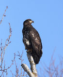 Juvenile Bald Eagles Stock Image
