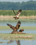 Juvenile Bald Eagles cavorting Royalty Free Stock Image