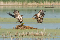 Juvenile Bald Eagles frolic over nest Stock Photos
