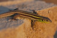 Juvenile Balkan green lizard Lacerta trilineata is a species of lizard in the Lacertidae family in sunset. Juvenile Balkan green lizard Lacerta trilineata is a royalty free stock photos