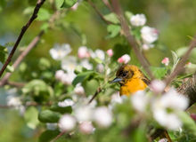 Juvenile Baltimore Oriole and Apple Blossoms. Photograph of a juvenile Baltimore Oriole perched in the midst of beautiful apple blossoms Royalty Free Stock Image