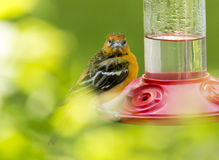 Juvenile Baltimore Oriole Closeup Royalty Free Stock Images