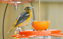 Juvenile Baltimore Oriole on Feeder (2) Royalty Free Stock Photo