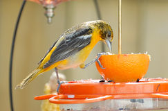 Juvenile Baltimore Oriole on Feeder Stock Photo