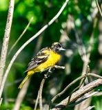 A Juvenile Baltimore Oriole #1. This is a picture of a Juvenile Baltimore Oriole in the Montrose Point Bird Sanctuary on alameda Michigan located in Chicago royalty free stock images