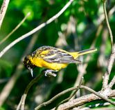 A Juvenile Baltimore Oriole #2. This is a picture of a Juvenile Baltimore Oriole in the Montrose Point Bird Sanctuary on alameda Michigan located in Chicago stock images