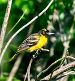 A Juvenile Baltimore Oriole #3. This is a picture of a Juvenile Baltimore Oriole in the Montrose Point Bird Sanctuary on alameda Michigan located in Chicago royalty free stock photos