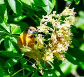 A Juvenile Baltimore Oriole #2. This is a Spring picture of a Juvenile Baltimore Oriole in the blossoms in the Montrose Point Bird Sanctuary on Lake Michigan royalty free stock photo