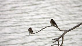 Juvenile Barn Swallow Birds Hirundo rustica Sitting on Tree Branch above the Water