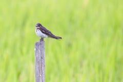 Juvenile Barn Swallow. Stock Photography