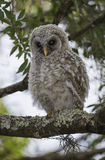 Juvenile Barred Owl (Strix varia). A juvenile barred owl looks down as a rustling noise grabs its attention royalty free stock image