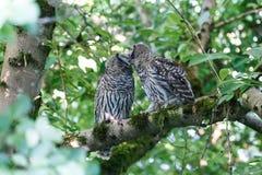 Juvenile barred owl Stock Photo