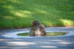 Juvenile barred owl Stock Image