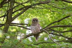 Juvenile barred owl Royalty Free Stock Photography