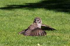 Juvenile barred owl Royalty Free Stock Images