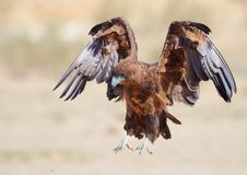 Juvenile Bateleur Royalty Free Stock Photo