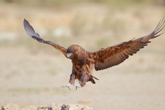 Juvenile Bateleur Stock Photo