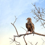 Juvenile Bateleur eagle perched on a dead tree Royalty Free Stock Image
