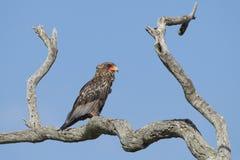 Juvenile Bateleur Eagle (Terathopius ecaudatus) South Africa. A Juvenile Bateleur Eagle perched on a dead Leadwood tree with a blue sky background  in South Stock Photo