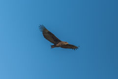 Juvenile bateleur flying in perfect blue sky Stock Photo