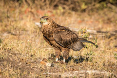 Juvenile Bateleur standing in the grass. Juvenile Bateleur standing in the grass in the Kruger National Park, South Africa royalty free stock photography