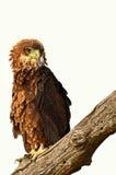 Juvenile bateleur (Terathopius ecaudatus). Juvenile bateleur (eagle) (Terathopius ecaudatus) in Kruger National Park, South Africa royalty free stock image