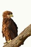 Juvenile bateleur (Terathopius ecaudatus). Juvenile bateleur (eagle) (Terathopius ecaudatus) in Kruger National Park, South Africa royalty free stock photography