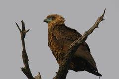 Juvenile bateleur (Terathopius ecaudatus). In Kruger National Park, South Africa royalty free stock image