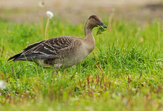 A juvenile Bean Goose Stock Photos