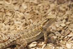 Juvenile bearded dragon Stock Photography