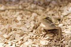 Juvenile bearded dragon Stock Images